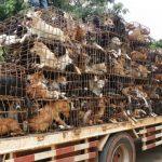 A Bali si da carne di cane ai turisti venduta come pollo.