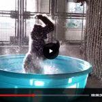 Zola, il gorilla che balla la breackdance in acqua: il video dello zoo che mette il buonumore