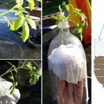 Ecco come Coltivare Pomodori In Bottiglie Di Plastica A Testa In Giù.