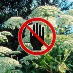 Attenzione – Alla Panace di Mantegazza, Una Pianta che rende ciechi è tossica e ustiona.