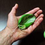 Tecnica incredibile per far riprodurre una pianta di basilico utilizzando solo una foglia